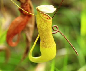 Pitcher Plant. Photo Credit: Peter Taylor